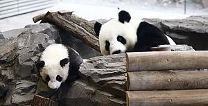 Berlin'deki ikiz pandalar ilk kez görüntülendi